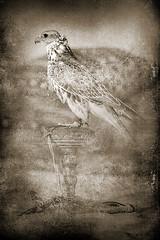 Arabian Falcon (HANI AL MAWASH) Tags: art animal photo al kuwait hani  artphoto      animalkingdomelite mywinners  aplusphoto kuwaitphoto   almawash almwash kuwaitartphoto kuwaitart  mawash