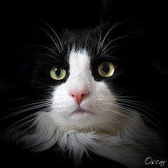 Memories of Oscar (Explored) (hehaden) Tags: portrait white black face animal closeup cat square kitty tuxedo tux longhaired