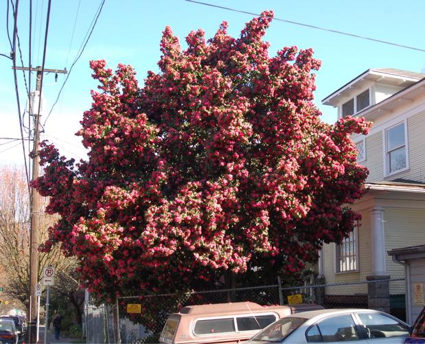 camellia_tree_wide