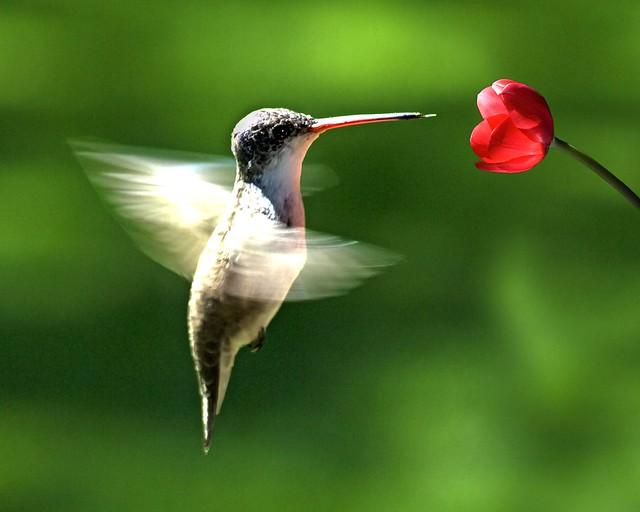 Colibrí volando con flor