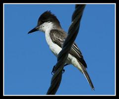 Loggerhead Kingbird (nature55) Tags: bird nature aves jamaica naturesfinest specanimal loggerheadkingbird nature55 avianexcellence diamondclassphotographer flickrdiamond