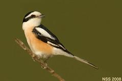 (N-S-S) Tags: bird birds sigma kuwait nikkor  800 800mm  nss  nikor   vwc        kvwc   alemdagqualityonlyclub