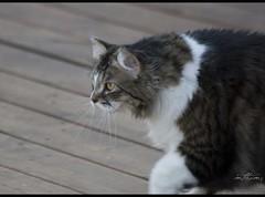 The Hunter (Kadacat (Marlene)) Tags: cats pets spring backyard feline hunter tess blueribbonwinner abigfave impressedbeauty goldstaraward