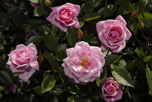 Climbing Miniature Rose
