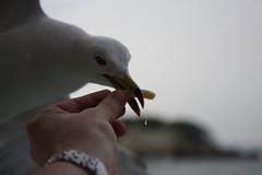 Matsushima 039 (Beo-kun) Tags: seagulls seagull matsushima