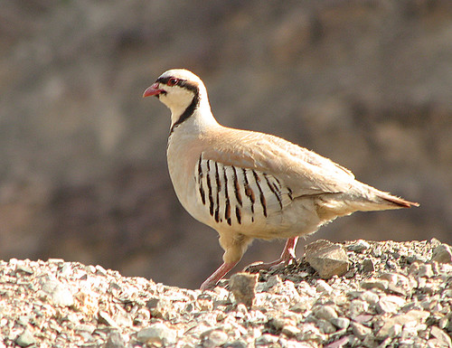 Chukar Partridge by krayker.