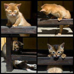 Kittens at Play - Mosaic 3 (peter_hasselbom) Tags: red cats cat bench kitten play mosaic kittens usual abyssinian sorrel ruddy middaysun crossbar hardlight cc100