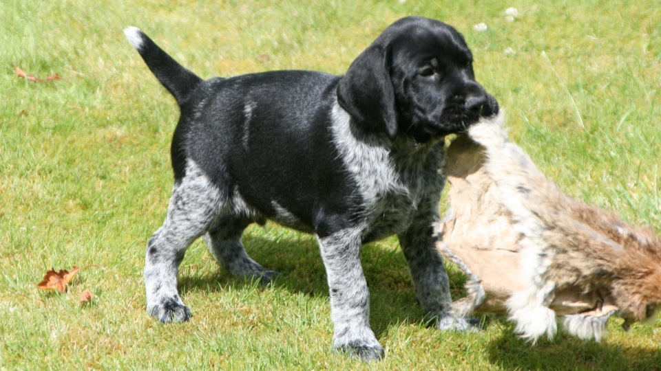 Beautiful German Wirehaired pointer puppy hunting