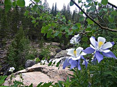 Columbines alongside Cascade Creek (mtncanyon) Tags: lake mountains creek colorado eagle indian peak trail crater lone wilderness peaks cascade