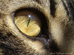 The eye (Kitty & Kal-El) Tags: pet macro eye animal closeup cat close sony gato kalel h7 sonyh7