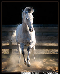Ian, Grey Stallion of the Desert Sands (Rock and Racehorses) Tags: ian grey sand play handsome explore thoroughbred tb dapple rearing rearinghorse pirouette flickrsbest