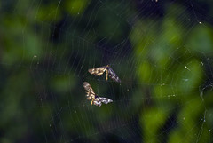Another Fine Mess... (aeschylus18917) Tags: macro nature japan bug insect tokyo spider nikon web arachnid moth silk orb  lepidoptera geometridae ennominae  saitama  hanno arachnida saitamaken  araneae koma predation insecta  80400mmf4556dvr pterygota  cystidia geometermoth neoptera endopterygota macrolepidoptera 105mmf28gvrmicro saitamaprefecture geometroidea  danielruyle aeschylus18917 danruyle druyle    hann hannshi cystidiastratonice  cystidiastratonicestratonice