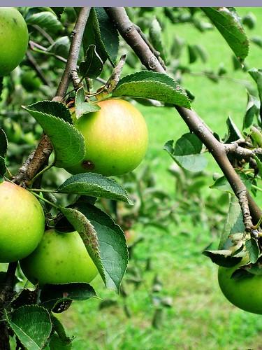 Prairie Grove apples-3