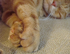 Snoozing Tabby (ginfox) Tags: sleeping orange cat feline paws orangetabby depthofvision