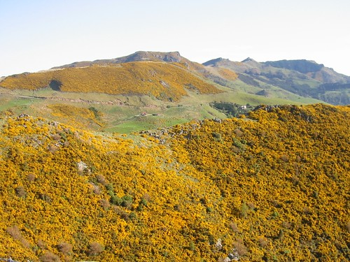 Gorse in New Zealand