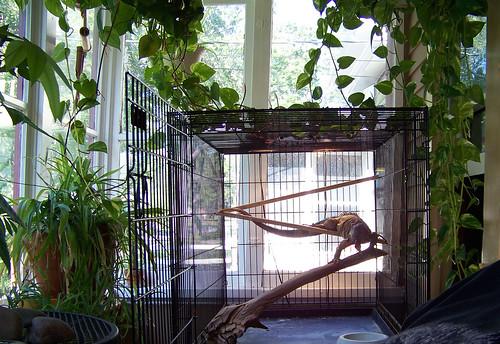 lagarto iguanalizardreptilepetcagegreenplantshouseplantssunroomterrariumsolariumtropicaltailnatureporch