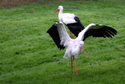 Stork dance I