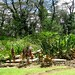 Lava tree memorial park