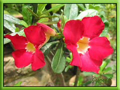 Adenium obesum 'Arrogant' with vibrant red blooms, seen around our neighborhood, July 2008