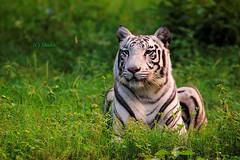 Tiger, tiger burning bright (Shubh M Singh) Tags: nikon feline king tiger royal canine manual awake panther turf alert regal domain whitetiger chandigarh singh d40 chattbir royalbengaltiger 300mm45 zirakpur chattbirzoo