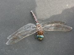 Libelulas... muchisimas volando en la ruta