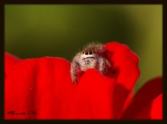 Red Petal Jumper (MEaves) Tags: red flower macro nature closeup spider eyes pentax arachnid jumpingspider sigma105mm golddragon k10d pentaxk10d naturephotographs macromix buzznbugz themacrogroup justpentax excapturemacro fantasticinsect beautifulmonsters spectacularmacro