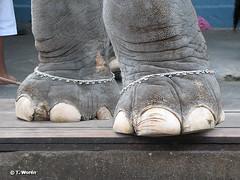 india_dec_2007_IMG_6918 (tinefis) Tags: city newzealand people india elephant nature temple democracy asia state indian indianocean cities buddhism temples indians elephants states hindu hinduism madurai democratic tamilnadu indus jewellry southasia bayofbengal arabiansea jainism elephantfoot republicofindia elephantfeet anklechain sikkhism kombakonam kumbeshwara kumbeshwaratemple elephantanklechain elephantfeetjewellry