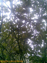 Apples on tree (Roosta Khanevaneh) Tags: wood light tree green apple leaves leaf branch iran  gilan   guilan fooman    fowman fouman khanevaneh khanevane