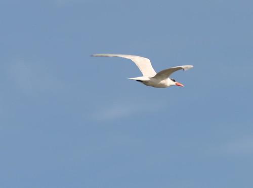 Caspian Tern 2008_10_30