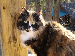 Sunlit Cat (ginfox) Tags: wood trees brown sun white black cat hair fur feline fluffy calico