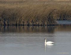 Tundra Swan (Woody 50) Tags: white black bird fall nature water reeds outdoors bill nikon feathers idah