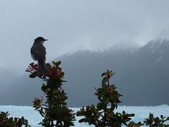 Perito Moreno, Lake Argentino, Parque Nacional Los Glaciares, Patagonia, Argentina (AJoStone) Tags: patagonia lake bird ice argentina glacier peritomoreno argentino icecap parquenacionallosglaciares