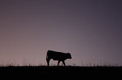 Cow's Happy Hour (Galep Iccar) Tags: sunset italy silhouette canon cow italia kitlens efs1855mm 1855 canonefs1855mm canoneos cristiano umbria efs1855 canonraw lenskit subasio 450d montesubasio canon450d canonefs1855mm3556 canoneos450d canonefs1855mm3556kitlens galep iccar galepiccar cowshappyhour pelagracci cristianopelagracci cristianopelagracciitalyitalia cristianopelagraccicanon canoneoscanoneoscanoneos450d450d