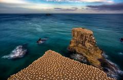 Muriwai before the sun (omakiwi) Tags: new sky water zealand gannet muriwai