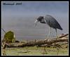 Little Blue Heron (Meddaugh Photography) Tags: park blue winter fall heron texas state bend little fort houston brazos specanimal aplusphoto