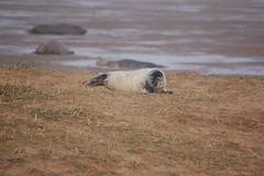 DSC_7389 (Lolls Marshall) Tags: seals donnanook