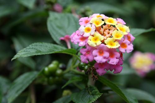 Pink flower - Lampranthus