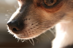bluenose (jen adele) Tags: light dog chihuahua detail eye animal puppy nose whiskers
