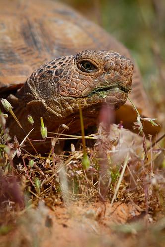 Desert tortoise-3.JPG