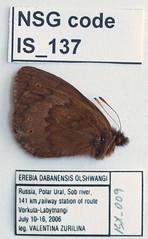 Erebia dabanensis