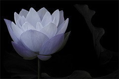 Lotus Flower - IMG_0172-1000 (Bahman Farzad) Tags: flower macro yoga peace lotus relaxing peaceful meditation therapy lotusflower lotuspetal lotuspetals lotusflowerpetals lotusflowerpetal