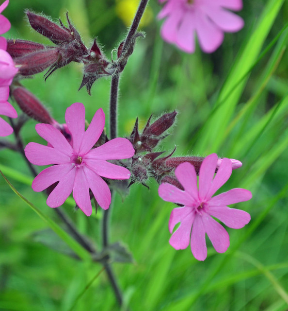 Red campion 25th June