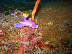 Nudibranch - Hypselodoris apolegma
