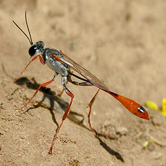 Thread-waisted wasp (NatureNM) Tags: newmexico chihuahuandesert threadwaistedwasp ammophila oterocounty