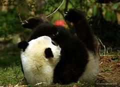 Tai Yoga (somesai) Tags: animal animals smithsonian panda endangered giantpanda pandas giantpandas