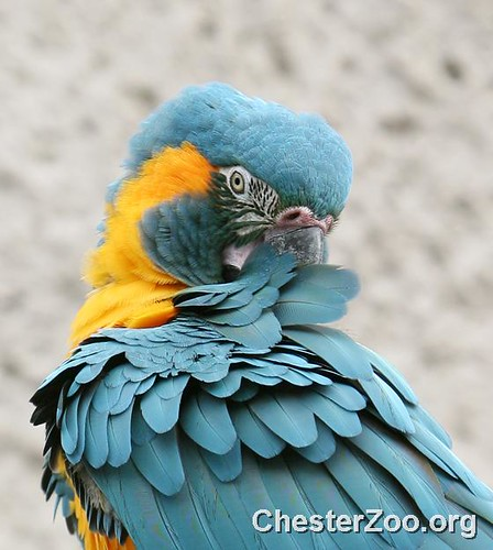 Blue Throated Macaw by Chester Zoo.