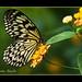 Mariposa blanquinegra en flor