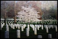 Arlington, Virginia (Michael LaPalme) Tags: tree cemetery cherry washingtondc districtofcolumbia memorial granite cherryblossom soldiers sakura tribute names gravestones koreanwarmemorial vietnamwarmemorial arlingtoncemetery