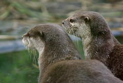 Indian Clawed Otter (Chalto!) Tags: dublin zoo otter 15challengeswinner beautifulworldchallenges