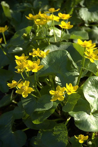 Caltha palustris, Marsh Marigold, Native Flora Garden, BBG